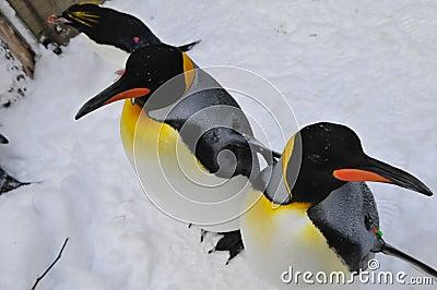 Macaroni and King Penguins