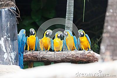 Το μπλε-και-κίτρινο πουλί Macaw.