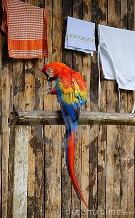 Macaw in the Amazon