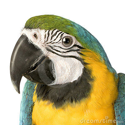 Macaw - Ara ararauna