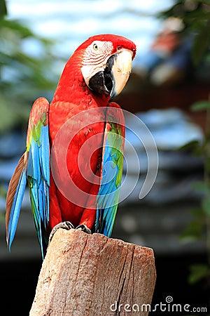 Free Macaw Bird[Scarlet Macaw] Stock Photos - 26611103