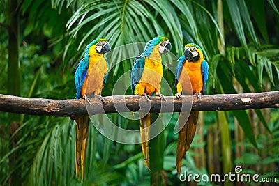 Macaw blu e giallo immagini stock immagine 21899554 for Kiwi giallo piante acquisto