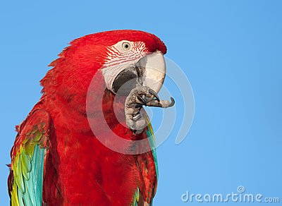 Macaw with copy space.