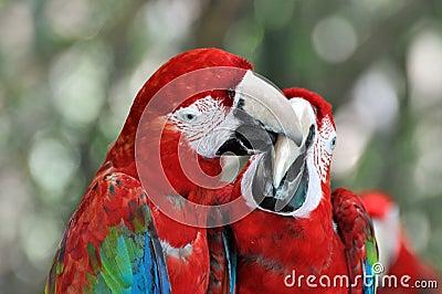 Macaw couple playing