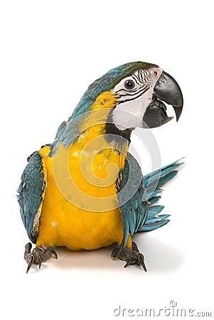 Macaw dell oro e dell azzurro su priorità bassa bianca