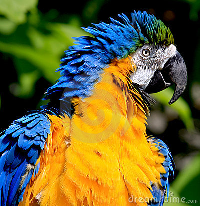 Macaw do azul e do ouro
