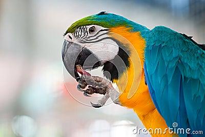 Macaw eating fruit