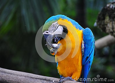 Macaw Licking