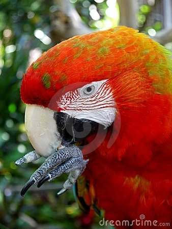 Macaw parrot: cleaning beak