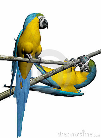 Macaw, parrot couple over white.