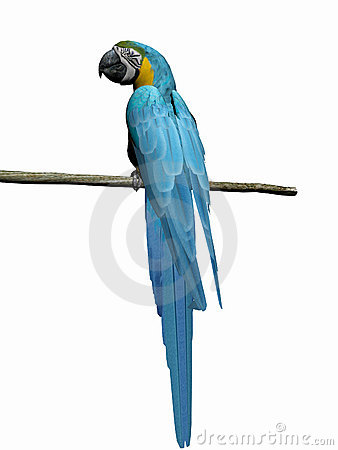 Macaw, parrot over white.