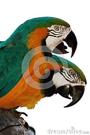 Macaw parrots 1
