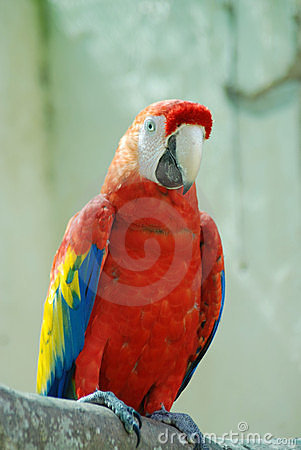 Macaw red parrot