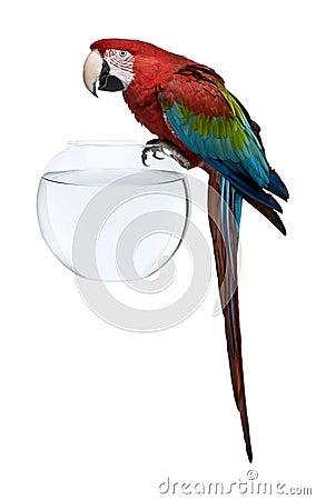 Macaw Rosso-e-verde, levantesi in piedi sulla ciotola dei pesci