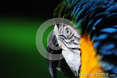 Macaw s Beak
