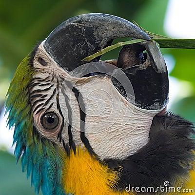 Free Macaw S Beak And Tongue Royalty Free Stock Image - 5660286