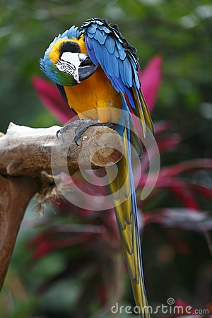 Macaw scratching