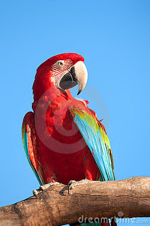 Macaw on tree.