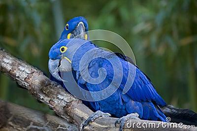 Macaws Birds.