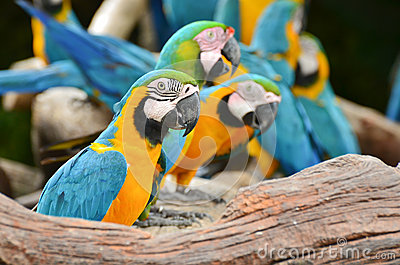 Macaws coloridos na natureza
