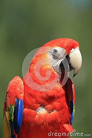 Macawscharlakansrött