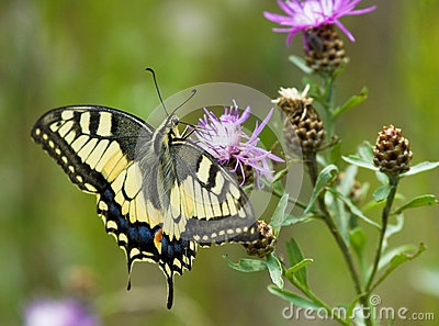 Machaon butterfly on Centaurea