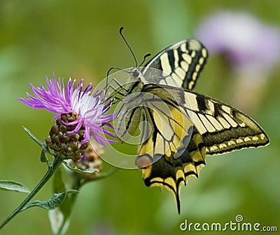 Machaon butterfly on Centaurea