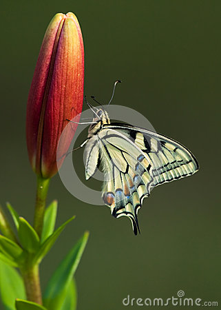 Machaon butterfly on Lily