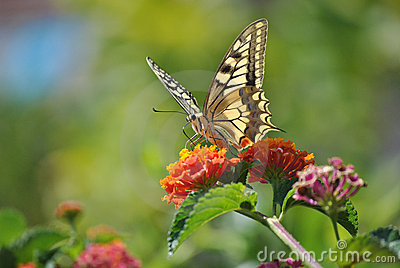 Machaon Papilio Zdjęcia Royalty Free - Obraz: 22275268