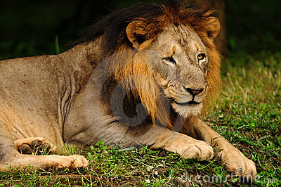 Macho asiático do leão