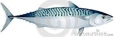 Mackerel, ocean fish