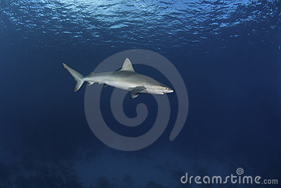 Mackerel shark