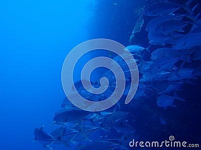 Mackerel swarm