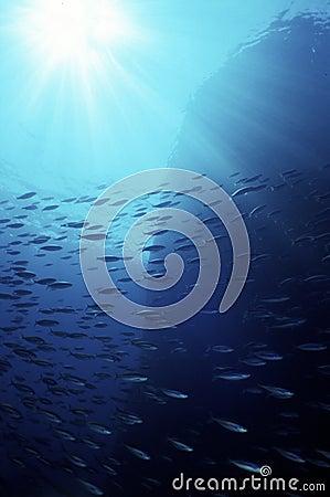 Mackerel swarm in the blue ocean