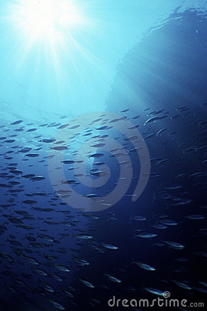 Free Mackerel Swarm In The Blue Ocean Royalty Free Stock Image - 13872536