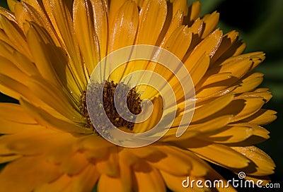 Macro of African Daisy/Cape Marigold (Dimorphotheca sinuata)