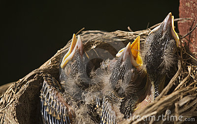 Macro Baby Robins in a Nest