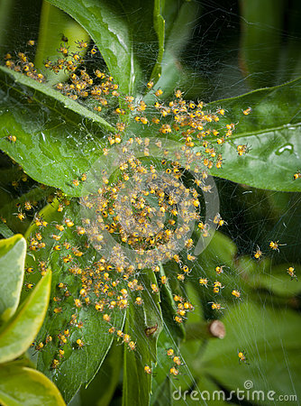 Free Macro Baby Spiders Group. Spider Nest. Royalty Free Stock Photos - 55064018
