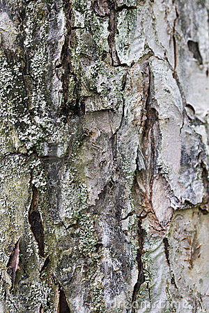 Macro background of gray bark of the tree