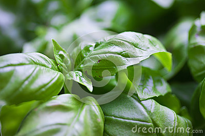 Macro of basil leaves