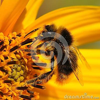 Macro bee collecting pollen