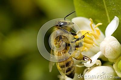 Macro bee with pollen