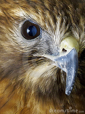 Macro of bird of prey eye and beak