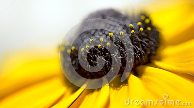 Macro Black Eyed Susan