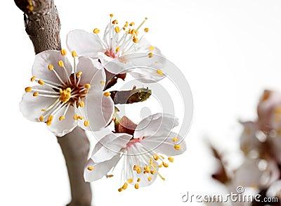 Macro of blooming cherry brunch