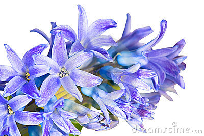 Macro of blue hyacinth flowers