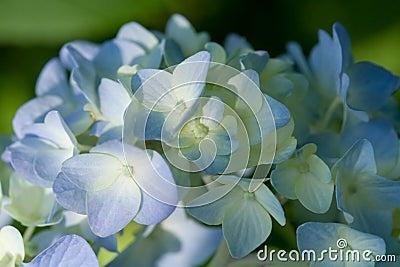 Macro of a blue Hydrangea