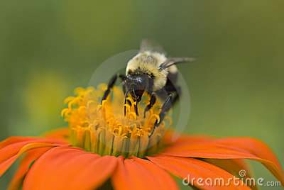 A macro of a bumble bee