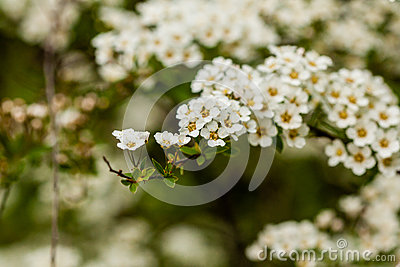 Macro bush of small white flowers on a branch stock photography macro bush of small white flowers on a branch stock photo mightylinksfo