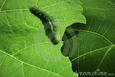 Macro Caterpillar on Leaf